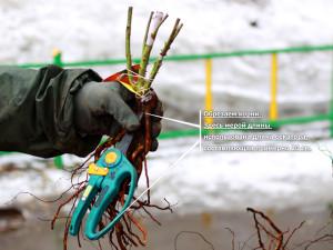 На фото - обрезка корней саженцев роз, landscape-project.ru
