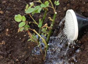 Фото полива саженцев роз в открытом грунте, ozelenenie.in.ua