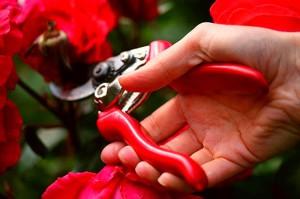 На фото - обрезка чайно-гибридных роз, vmirebotanici.ru