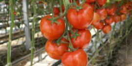 Полив помидоров в теплице – секреты и советы бывалых садоводов