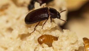 На фото - личинки жука-знахаря, bugdesign.com.ua
