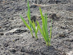 Полив чеснока и лука летом – как получить отменный урожай?