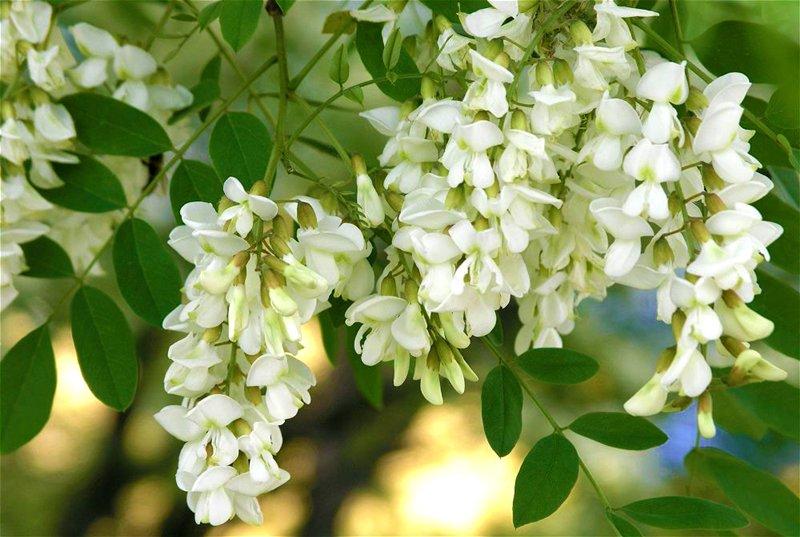Цветы акации – лечебные свойства
