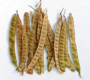 Фото семян белой акации, leo-dikiy.livejournal.com
