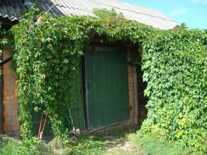 Фото девичьего винограда, akunamatatalife.com