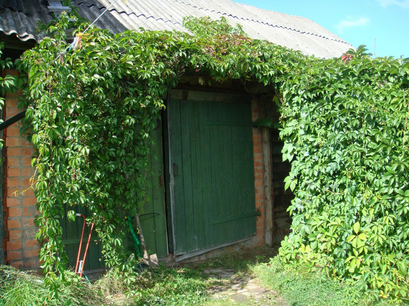 Когда сажать девичий виноград на даче 64