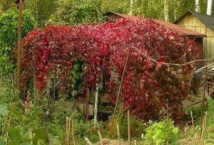 На фото - разросшийся девичий виноград, vladgarden.ru