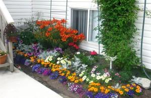 На фото - яркие цветы для палисадника у дома, 7dach.ru