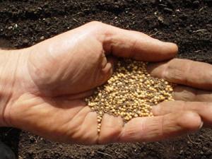 Горчица как удобрение осенью – когда сеять?