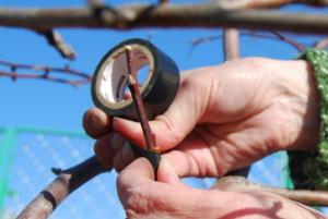 Фото прививки яблони, vk.com