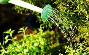 Полив кабачков – основные особенности правильного полива фото