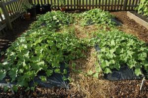 Как часто поливать кабачки – уход после полива