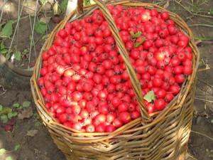 На фото - плоды боярышника, agrobirzha.info