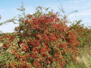 Фото живой изгороди из боярышника, ortoped.kz