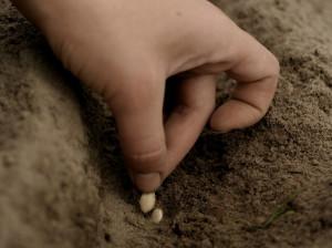 На фото - закладка семян кабачков в легкую почву, supersadovod.ru