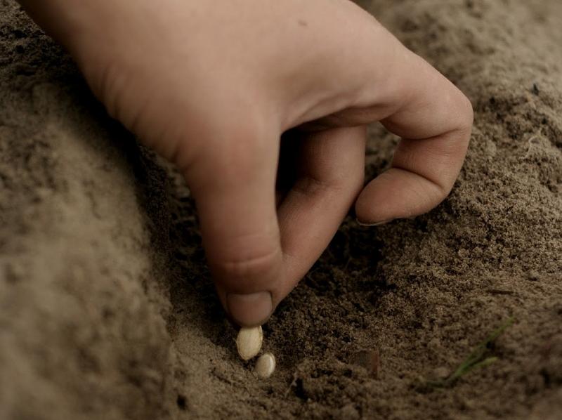 Как сажают семя кабачка 231