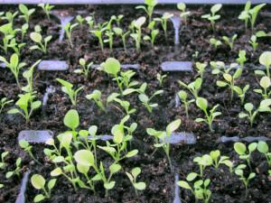 Правильный уход за петунией из семян – залог красивого растения
