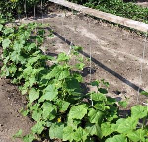 На фото - посев семян огурцов рядовым способом, fermer02.ru