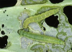Фото гусениц капустной моли, klop911.ru