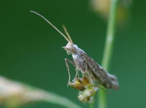 На фото - насекомое-вредитель капустная моль, dachadecor.ru