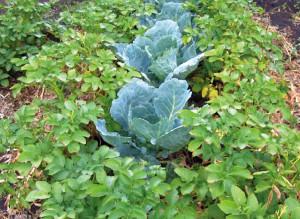 Фото выращивания помидоров и капусты рядом, vashe-plodorodie.ru