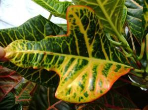 На фото - светолюбивый цветок кодиеум, flowersweb.info