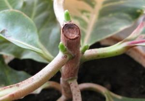 На фото - размножение цветка кодиеум черенками, mrsad.ru