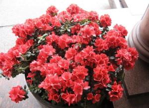 Цветок азалия – грамотный уход