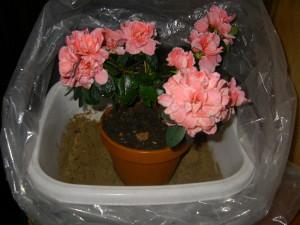 Цветок азалия – грамотный уход фото