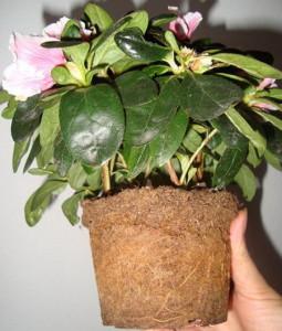 Как заставить расцвести прихотливую азалию – немного кисленького!
