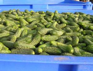 Фото урожая огурцов, polivagro.su