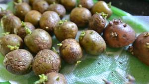 На фото - обработка клубней картофеля регуляторами роста, dachnik.pro