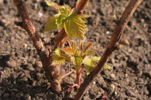 Фото вскапывания почвы вокруг малины после сбора урожая, atmagro.ru