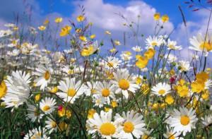На фото - полевые цветы для мавританского газона, my-dream-garden.ru