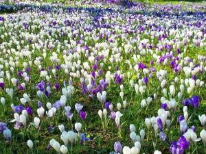 Фото луковичных цветов для мавританского газона, landscape-project.ru