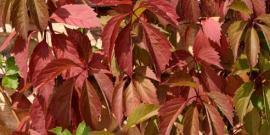 Девичий виноград – уход и выращивание лианы