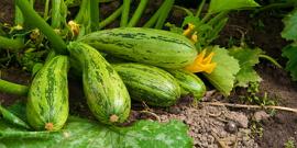 Как правильно сажать кабачки – способы посадки и уход за ростками