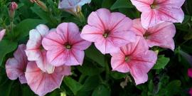 Как вырастить петунию из семян – из крохи-семени красавица-цветок!