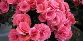 Выращиваем комнатные цветы бегония дома – уход по правилам