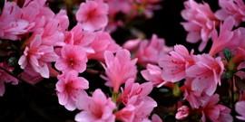 Комнатный цветок азалия – уход и правильное выращивание