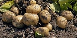 Удобрение для картофеля при посадке весной – делаем правильный выбор
