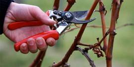 Обрезка винограда на зиму – подсказки начинающим!