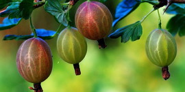 Правильная обрезка крыжовника – основа здорового растения