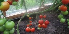 Полив помидор в теплице – секреты и советы бывалых садоводов