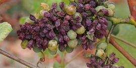 Серая гниль на винограде – лечение и профилактика