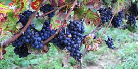Сорт винограда Пино Нуар – винный король