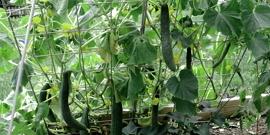 Подвязка огурцов в открытом грунте – повышаем урожайность