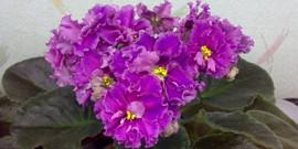 Удобрения для фиалок – как помочь растениям зацвести?