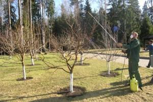 На фото - подкормка плодоносящих деревьев карбамидом, derevoved.com