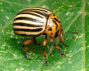 Фото листоедного колорадского жука, givotnie.com